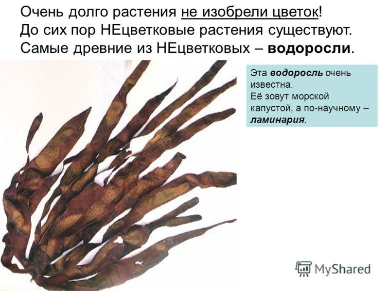 Очень долго растения не изобрели цветок! До сих пор НЕцветковые растения существуют. Самые древние из НЕцветковых – водоросли. Эта водоросль очень известна. Её зовут морской капустой, а по-научному – ламинария.