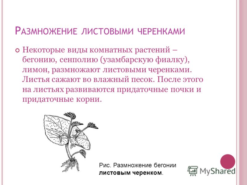 Р АЗМНОЖЕНИЕ ЛИСТОВЫМИ ЧЕРЕНКАМИ Некоторые виды комнатных растений – бегонию, сенполию (узамбарскую фиалку), лимон, размножают листовыми черенками. Листья сажают во влажный песок. После этого на листьях развиваются придаточные почки и придаточные кор