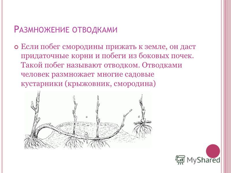 Р АЗМНОЖЕНИЕ ОТВОДКАМИ Если побег смородины прижать к земле, он даст придаточные корни и побеги из боковых почек. Такой побег называют отводком. Отводками человек размножает многие садовые кустарники (крыжовник, смородина)