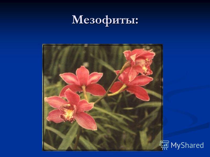 Мезофиты: