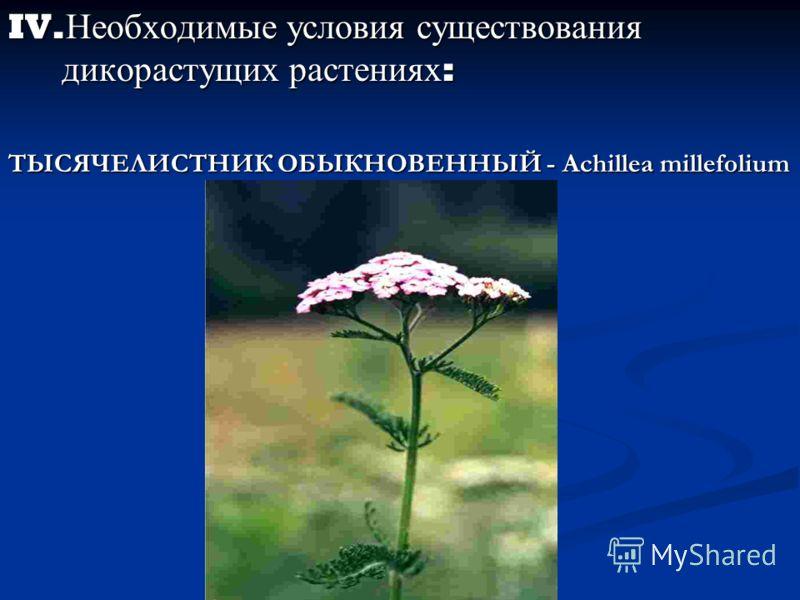 IV. Необходимые условия существования дикорастущих растениях : ТЫСЯЧЕЛИСТНИК ОБЫКНОВЕННЫЙ - Achillea millefolium