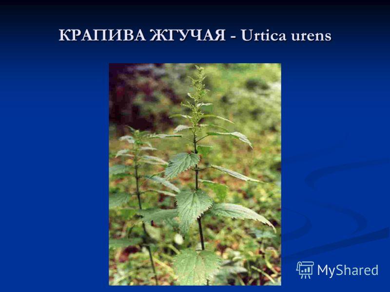 КРАПИВА ЖГУЧАЯ - Urtica urens