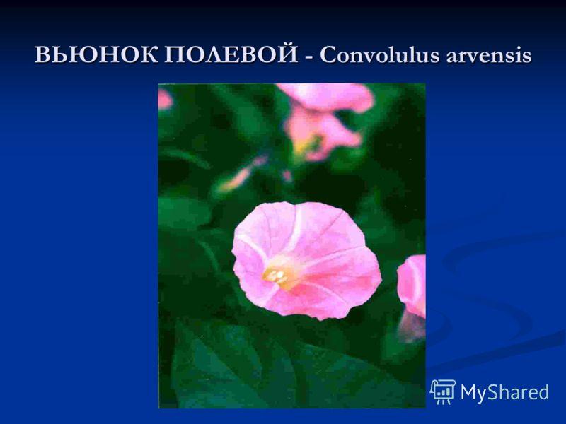 ВЬЮНОК ПОЛЕВОЙ - Convolulus arvensis