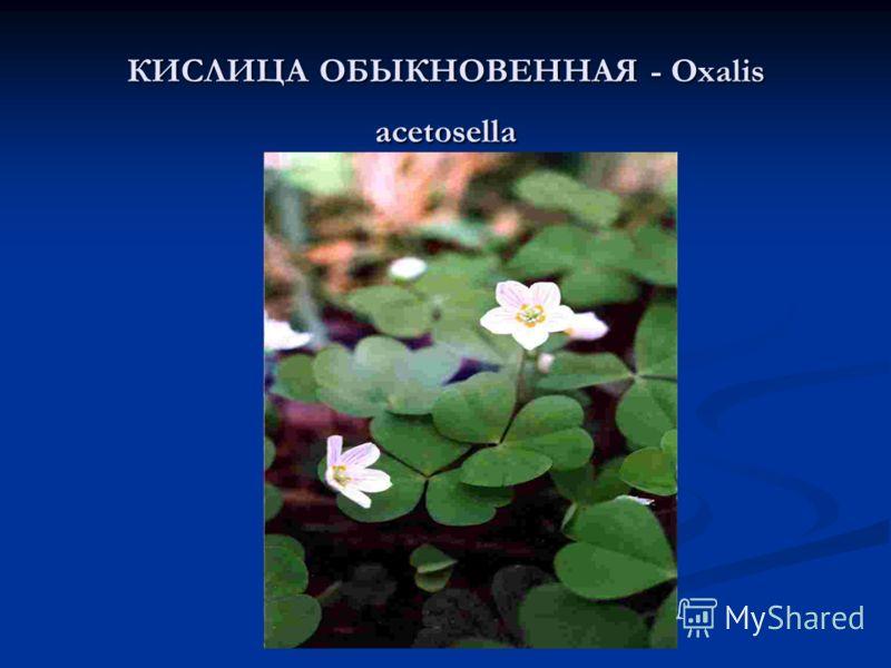 КИСЛИЦА ОБЫКНОВЕННАЯ - Oxalis acetosella