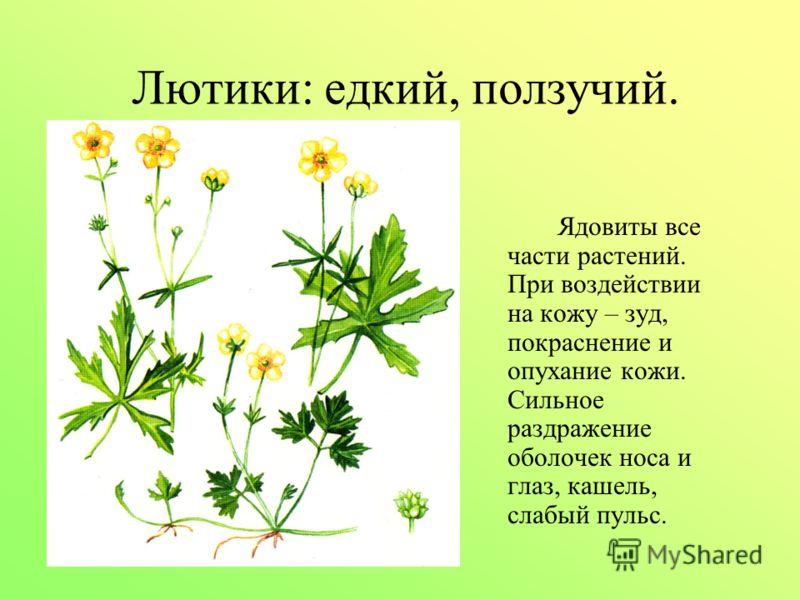 Лютики: едкий, ползучий. Ядовиты все части растений. При воздействии на кожу – зуд, покраснение и опухание кожи. Сильное раздражение оболочек носа и глаз, кашель, слабый пульс.