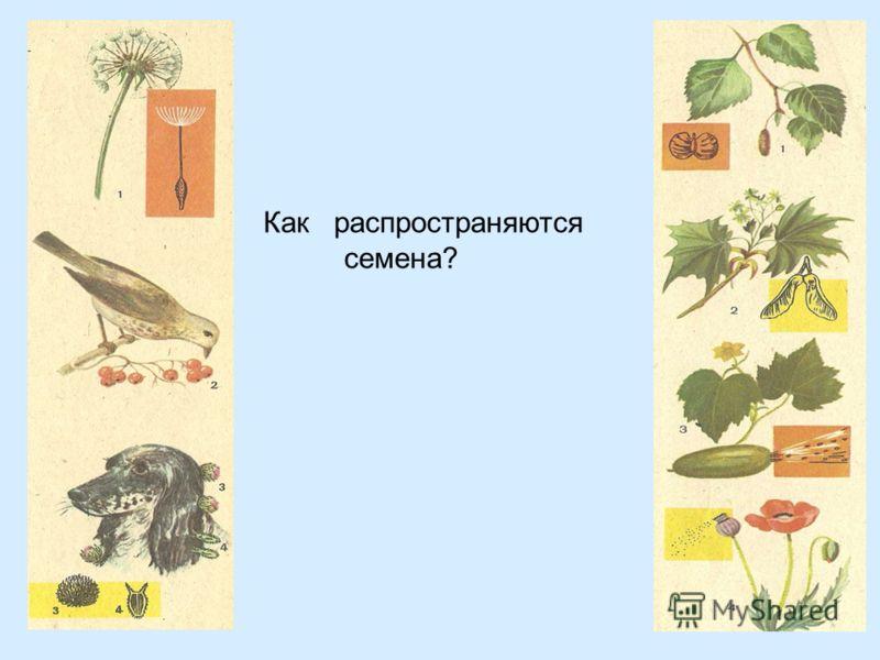 Как распространяются семена?