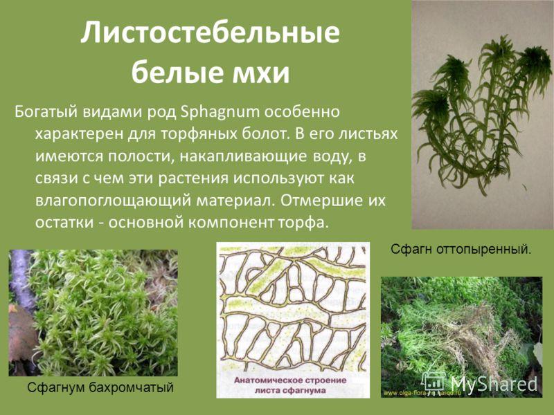 Листостебельные белые мхи Богатый видами род Sphagnum особенно характерен для торфяных болот. В его листьях имеются полости, накапливающие воду, в связи с чем эти растения используют как влагопоглощающий материал. Отмершие их остатки - основной компо