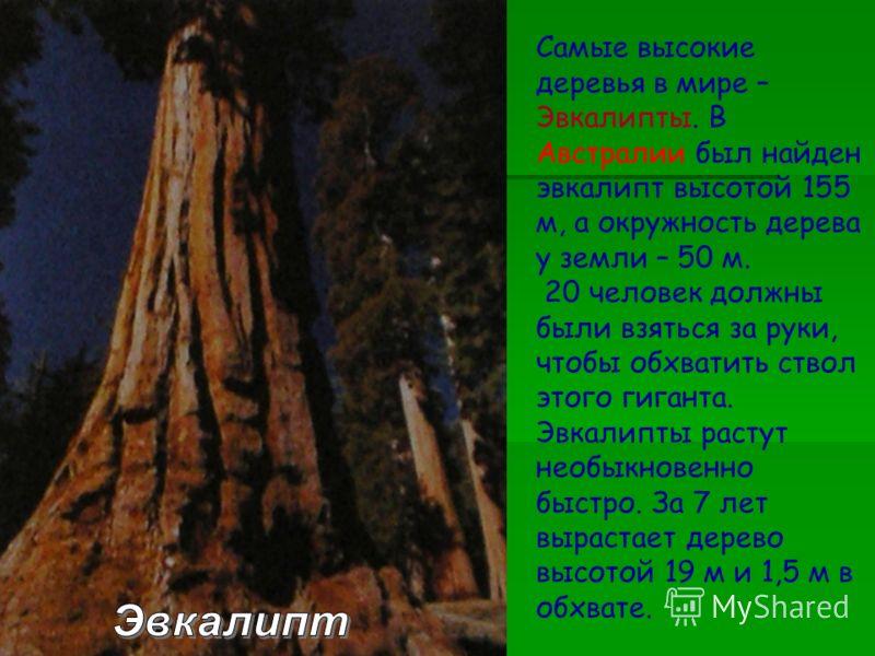 Самые высокие деревья в мире – Эвкалипты. В Австралии был найден эвкалипт высотой 155 м, а окружность дерева у земли – 50 м. 20 человек должны были взяться за руки, чтобы обхватить ствол этого гиганта. Эвкалипты растут необыкновенно быстро. За 7 лет