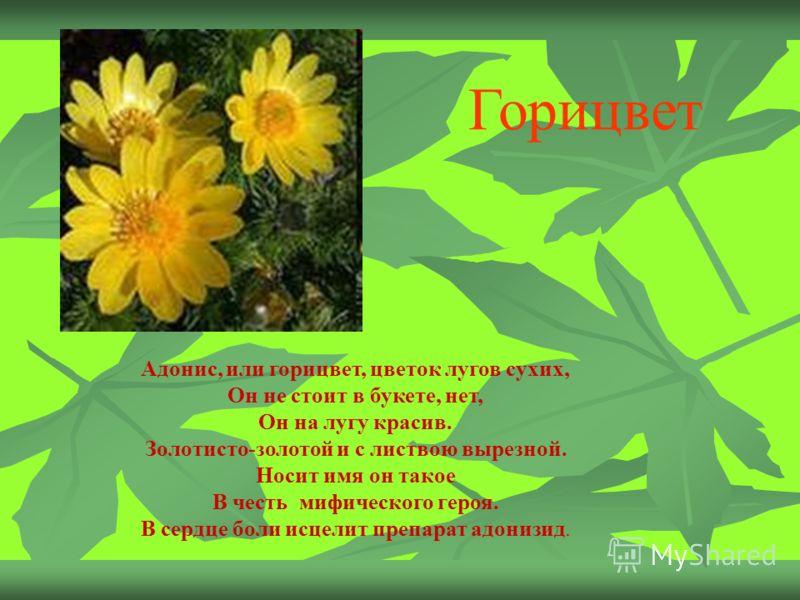 Адонис, или горицвет, цветок лугов сухих, Он не стоит в букете, нет, Он на лугу красив. Золотисто-золотой и с листвою вырезной. Носит имя он такое В честь мифического героя. В сердце боли исцелит препарат адонизид. Горицвет