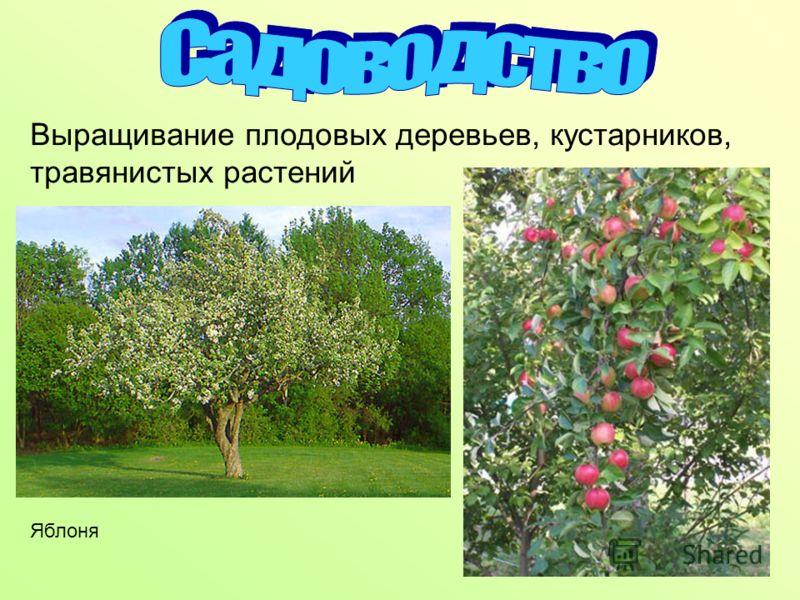 Выращивание плодовых деревьев, кустарников, травянистых растений Яблоня
