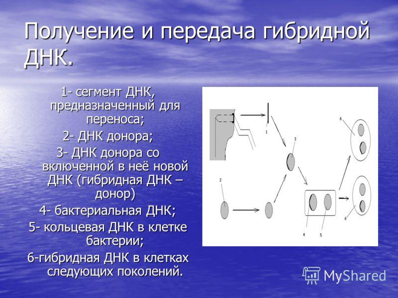 Получение и передача гибридной ДНК. 1- сегмент ДНК, предназначенный для переноса; 2- ДНК донора; 3- ДНК донора со включенной в неё новой ДНК (гибридная ДНК – донор) 4- бактериальная ДНК; 5- кольцевая ДНК в клетке бактерии; 6-гибридная ДНК в клетках с