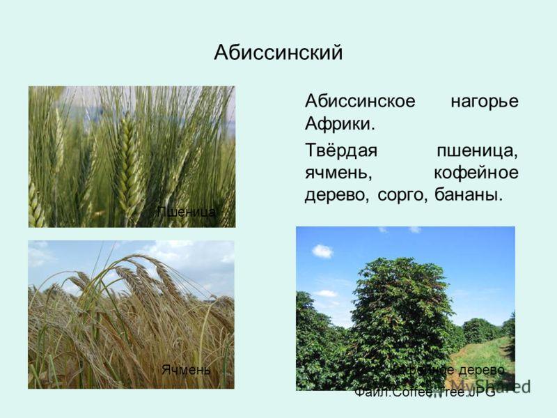 Абиссинский Абиссинское нагорье Африки. Твёрдая пшеница, ячмень, кофейное дерево, сорго, бананы. Пшеница ЯчменьКофейное дерево Файл:Coffee Tree.JPG