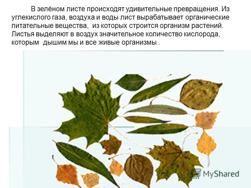 В зелёном листе происходят удивительные превращения. Из углекислого газа, воздуха и воды лист вырабатывает органические питательные вещества, из которых строится организм растений. Листья выделяют в воздух значительное количество кислорода, которым д