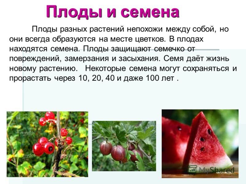 Плоды и семена Плоды разных растений непохожи между собой, но они всегда образуются на месте цветков. В плодах находятся семена. Плоды защищают семечко от повреждений, замерзания и засыхания. Семя даёт жизнь новому растению. Некоторые семена могут со