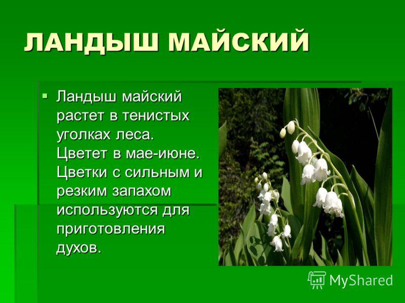 ЛАНДЫШ МАЙСКИЙ Ландыш майский растет в тенистых уголках леса. Цветет в мае-июне. Цветки с сильным и резким запахом используются для приготовления духов. Ландыш майский растет в тенистых уголках леса. Цветет в мае-июне. Цветки с сильным и резким запах