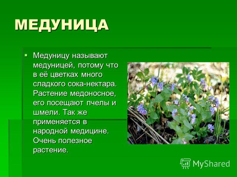МЕДУНИЦА Медуницу называют медуницей, потому что в её цветках много сладкого сока-нектара. Растение медоносное, его посещают пчелы и шмели. Так же применяется в народной медицине. Очень полезное растение. Медуницу называют медуницей, потому что в её