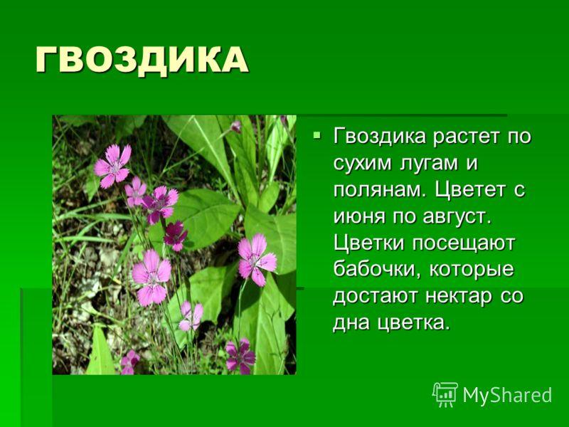 ГВОЗДИКА Гвоздика растет по сухим лугам и полянам. Цветет с июня по август. Цветки посещают бабочки, которые достают нектар со дна цветка. Гвоздика растет по сухим лугам и полянам. Цветет с июня по август. Цветки посещают бабочки, которые достают нек