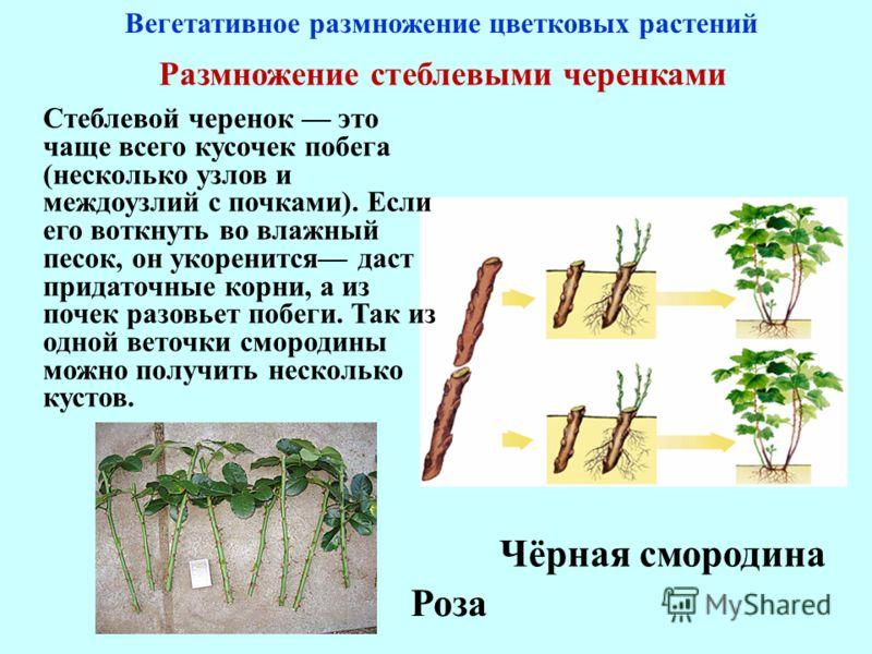 Размножение стеблевыми черенками Стеблевой черенок это чаще всего кусочек побега (несколько узлов и междоузлий с почками). Если его воткнуть во влажный песок, он укоренится даст придаточные корни, а из почек разовьет побеги. Так из одной веточки смор