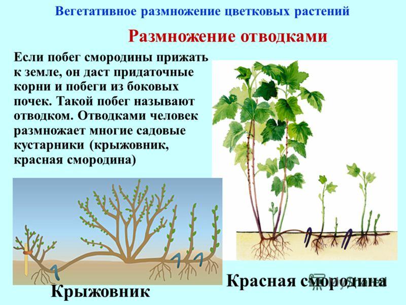 Размножение отводками Если побег смородины прижать к земле, он даст придаточные корни и побеги из боковых почек. Такой побег называют отводком. Отводками человек размножает многие садовые кустарники (крыжовник, красная смородина) Вегетативное размнож