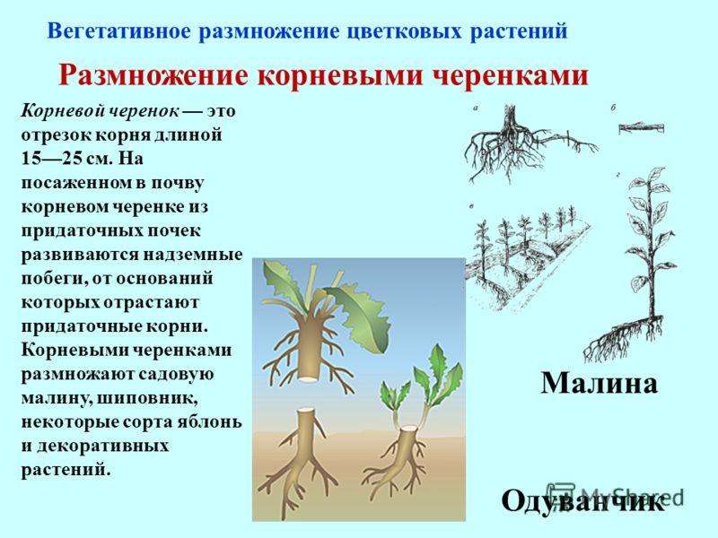 Размножение корневыми черенками Корневой черенок это отрезок корня длиной 1525 см. На посаженном в почву корневом черенке из придаточных почек развиваются надземные побеги, от оснований которых отрастают придаточные корни. Корневыми черенками размнож