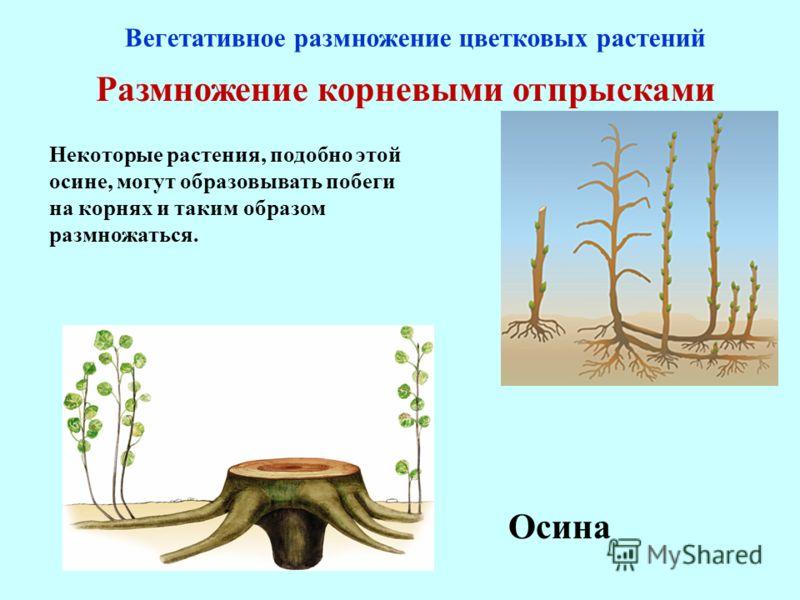 Размножение корневыми отпрысками Некоторые растения, подобно этой осине, могут образовывать побеги на корнях и таким образом размножаться. Вегетативное размножение цветковых растений Осина