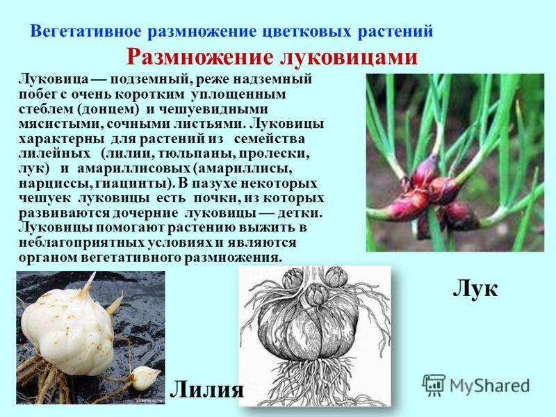 Размножение луковицами Луковица подземный, реже надземный побег с очень коротким уплощенным стеблем (донцем) и чешуевидными мясистыми, сочными листьями. Луковицы характерны для растений из семейства лилейных (лилии, тюльпаны, пролески, лук) и амарилл