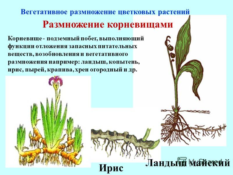 Корневище - подземный побег, выполняющий функции отложения запасных питательных веществ, возобновления и вегетативного размножения например: ландыш, копытень, ирис, пырей, крапива, хрен огородный и др. Размножение корневищами Вегетативное размножение