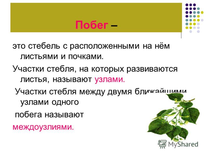 Побег – это стебель с расположенными на нём листьями и почками. Участки стебля, на которых развиваются листья, называют узлами. Участки стебля между двумя ближайшими узлами одного побега называют междоузлиями.