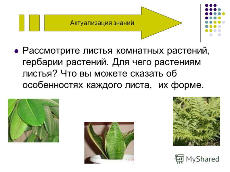 Актуализация знаний Рассмотрите листья комнатных растений, гербарии растений. Для чего растениям листья? Что вы можете сказать об особенностях каждого листа, их форме.