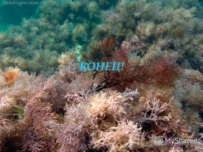 Зостера (морская трава) высшее цветковое растение, приспособившееся к жизни в воде. Длинные темно-зеленые листья зостеры образуют обширные подводные луга в спокойных мелководных заливах.