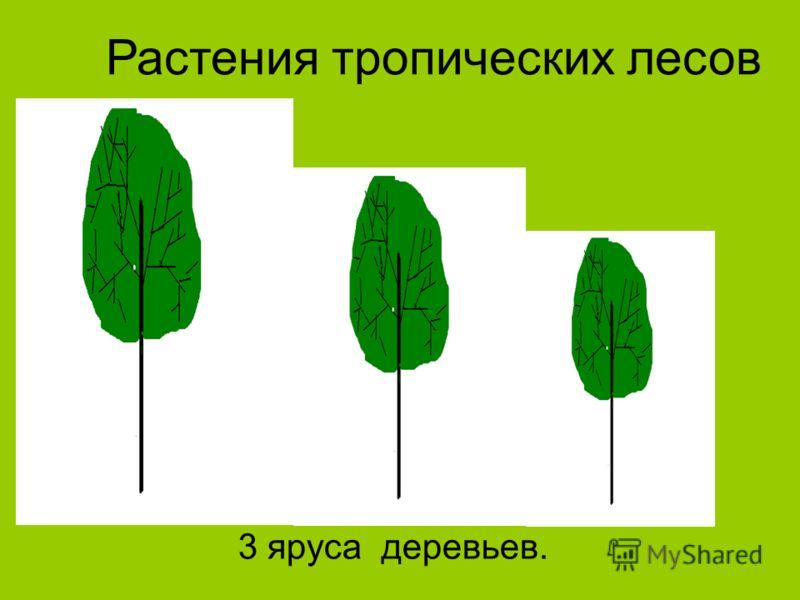 Растения тропических лесов 3 яруса деревьев.