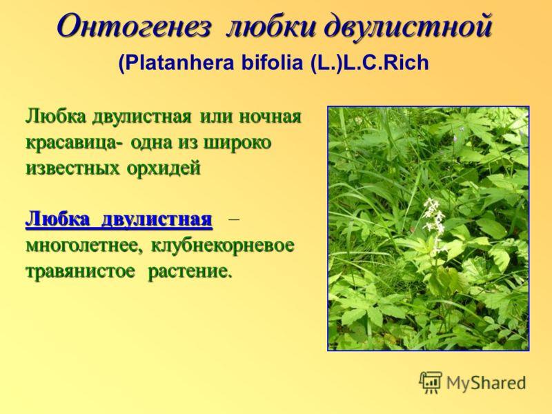 Онтогенез любки двулистной (Platanhera bifolia (L.)L.C.Rich Любка двулистная или ночная красавица- одна из широко известных орхидей Любка двулистная многолетнее, клубнекорневое травянистое растение. Любка двулистная – многолетнее, клубнекорневое трав