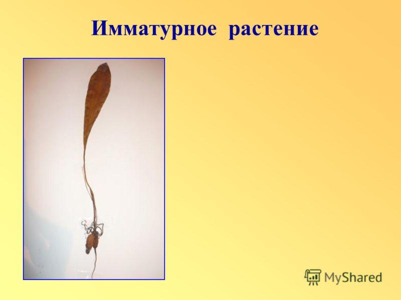 Имматурное растение