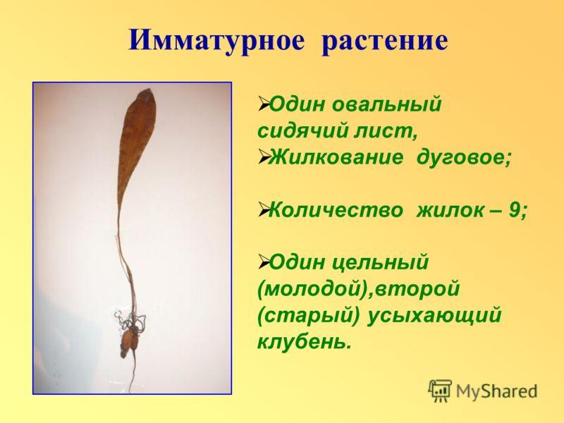 Один овальный сидячий лист, Жилкование дуговое; Количество жилок – 9; Один цельный (молодой),второй (старый) усыхающий клубень.