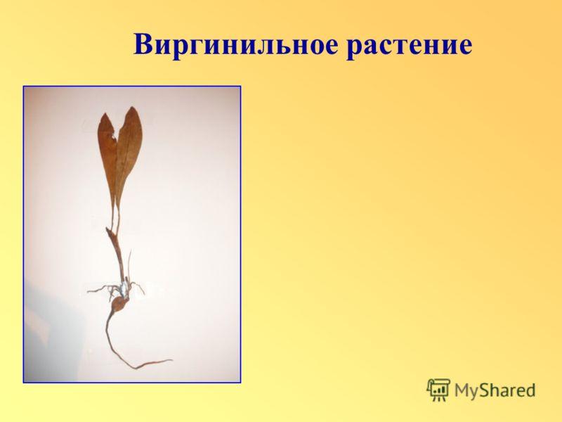 Виргинильное растение