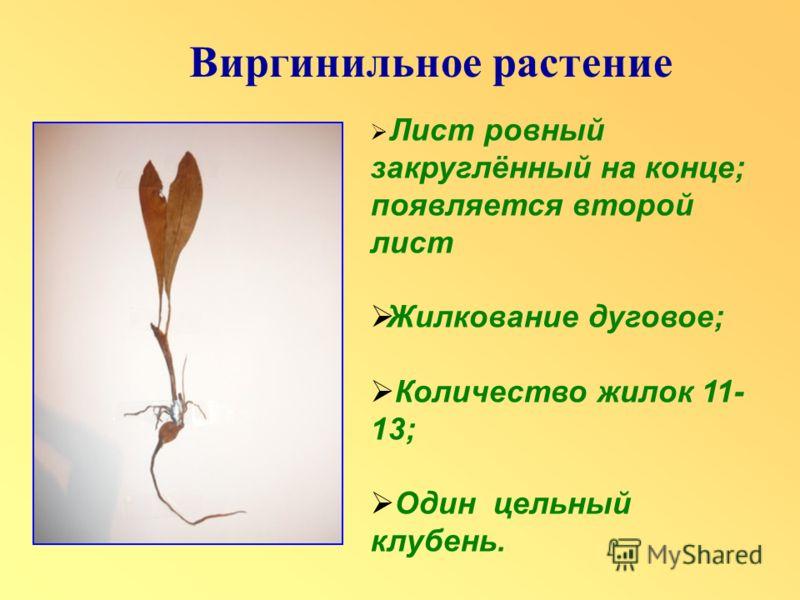 Лист ровный закруглённый на конце; появляется второй лист Жилкование дуговое; Количество жилок 11- 13; Один цельный клубень.
