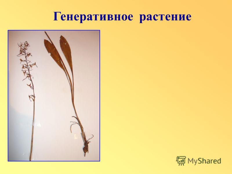 Генеративное растение
