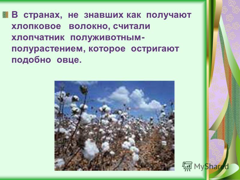 В странах, не знавших как получают хлопковое волокно, считали хлопчатник полуживотным- полурастением, которое остригают подобно овце.