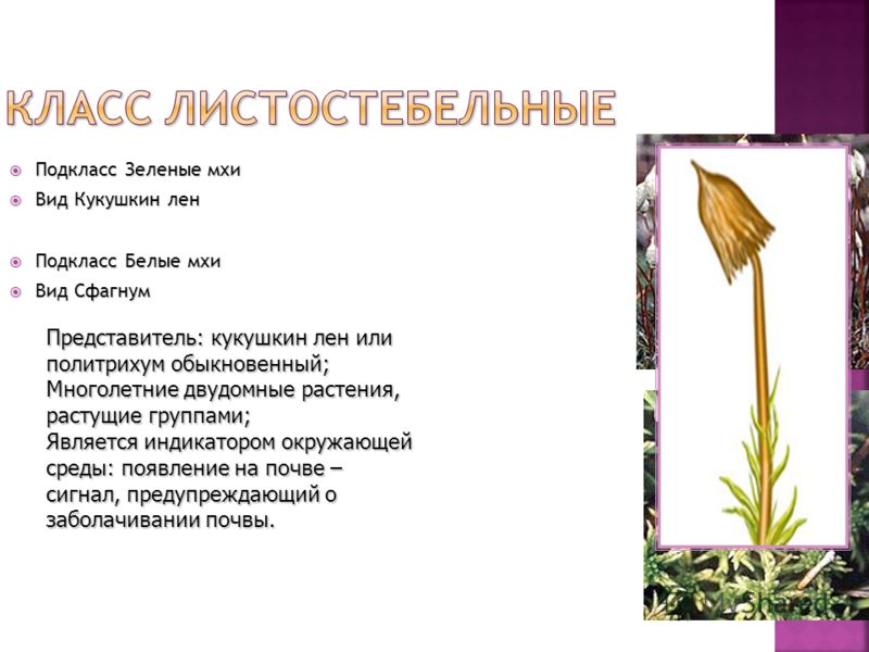 Подкласс Зеленые мхи Подкласс Зеленые мхи Вид Кукушкин лен Вид Кукушкин лен Подкласс Белые мхи Подкласс Белые мхи Вид Сфагнум Вид Сфагнум Представитель: кукушкин лен или политрихум обыкновенный; Многолетние двудомные растения, растущие группами; Явля