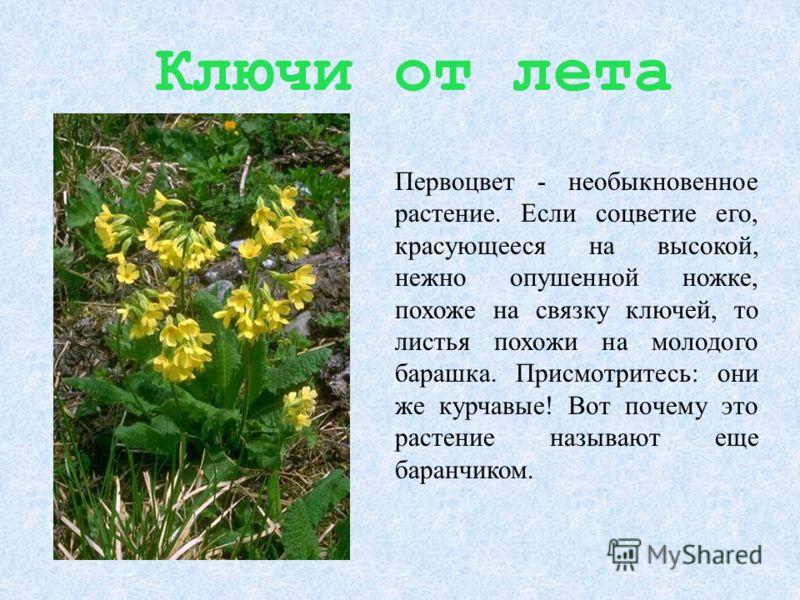 Ключи от лета Первоцвет - необыкновенное растение. Если соцветие его, красующееся на высокой, нежно опушенной ножке, похоже на связку ключей, то листья похожи на молодого барашка. Присмотритесь: они же курчавые! Вот почему это растение называют еще б