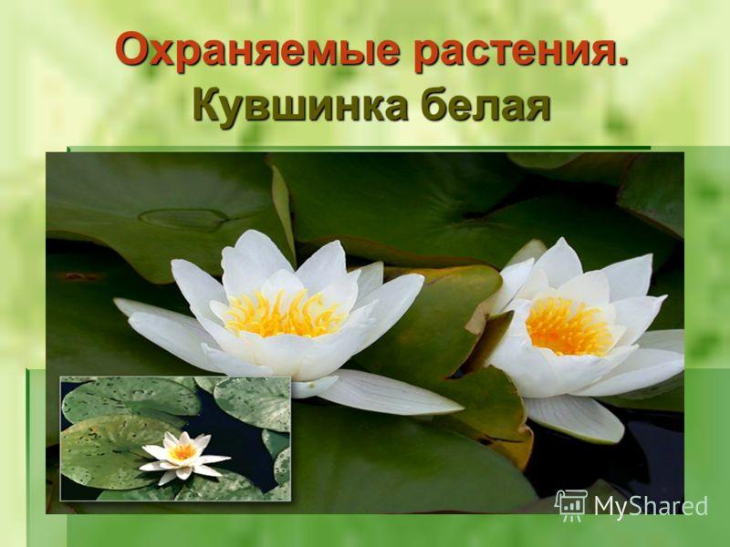 Охраняемые растения. Кувшинка белая