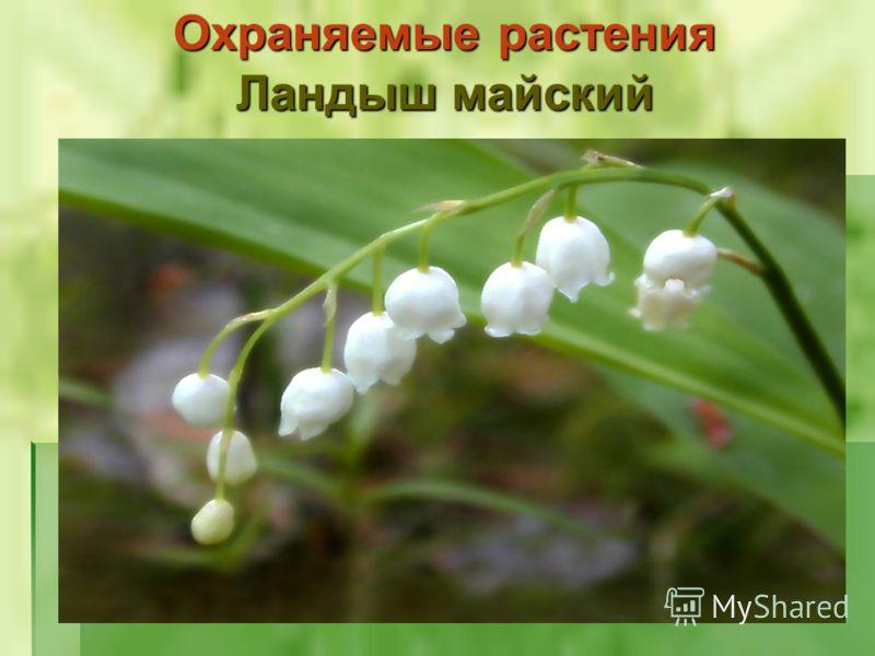 Охраняемые растения Ландыш майский