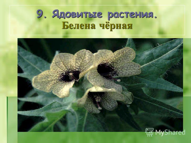 9. Ядовитые растения. Белена чёрная