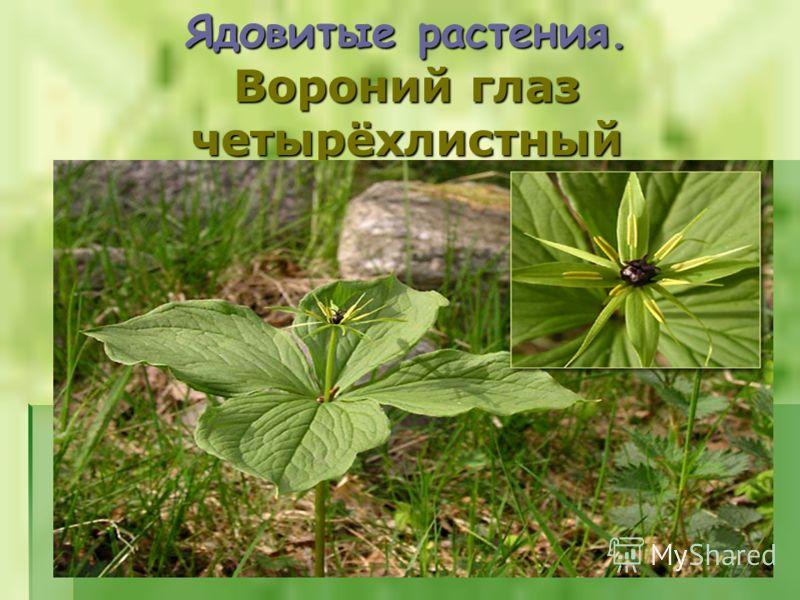 Ядовитые растения. Вороний глаз четырёхлистный