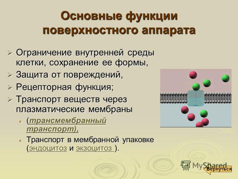 Основные функции поверхностного аппарата Ограничение внутренней среды клетки, сохранение ее формы, Ограничение внутренней среды клетки, сохранение ее формы, Защита от повреждений, Защита от повреждений, Рецепторная функция; Рецепторная функция; Транс