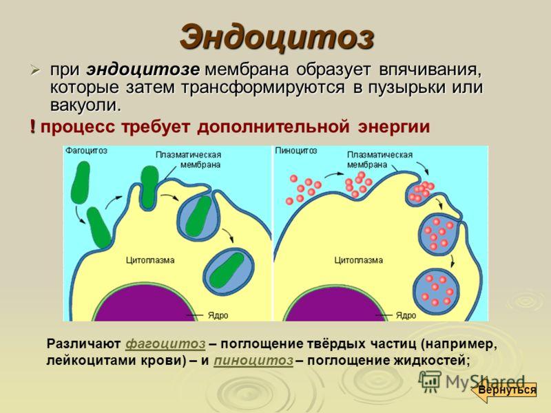 Эндоцитоз при эндоцитозе мембрана образует впячивания, которые затем трансформируются в пузырьки или вакуоли. при эндоцитозе мембрана образует впячивания, которые затем трансформируются в пузырьки или вакуоли. ! ! процесс требует дополнительной энерг