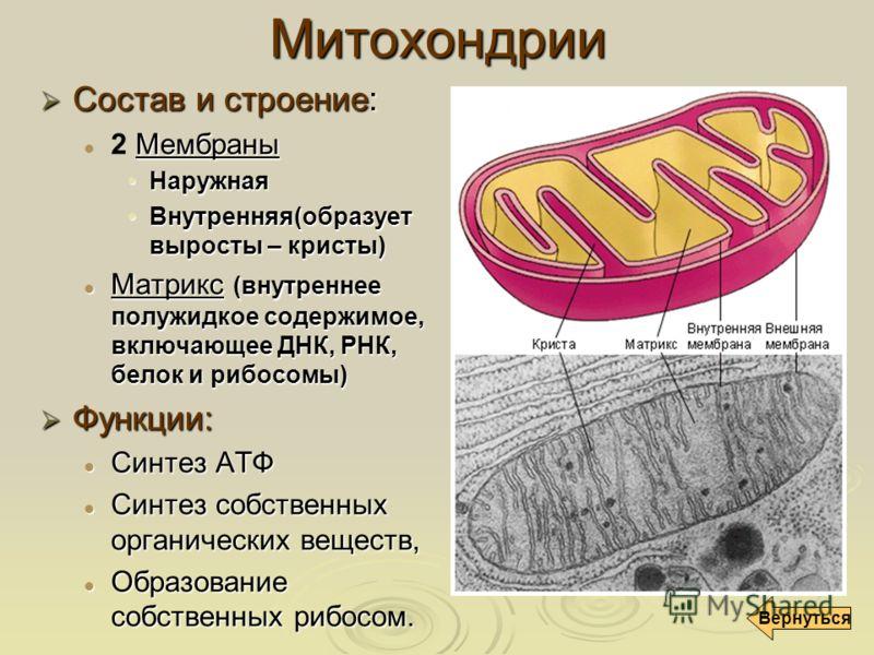 Митохондрии Состав и строение: Состав и строение: Мембраны 2 Мембраны НаружнаяНаружная Внутренняя(образует выросты – кристы)Внутренняя(образует выросты – кристы) Матрикс (внутреннее полужидкое содержимое, включающее ДНК, РНК, белок и рибосомы) Матрик