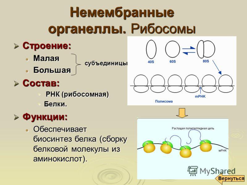 Немембранные органеллы. Рибосомы Строение: Строение: Малая Малая Большая Большая Состав: Состав: РНК (рибосомная) РНК (рибосомная) Белки.Белки. Функции: Функции: Обеспечивает биосинтез белка (сборку белковой молекулы из аминокислот). Обеспечивает био