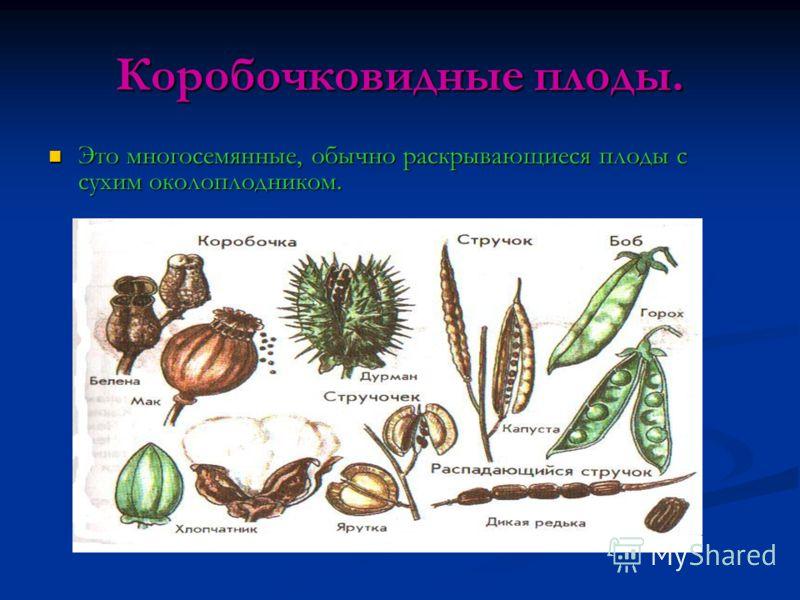 Коробочковидные плоды. Это многосемянные, обычно раскрывающиеся плоды с сухим околоплодником. Это многосемянные, обычно раскрывающиеся плоды с сухим околоплодником.