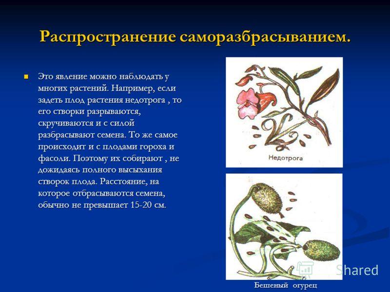 Распространение саморазбрасыванием. Это явление можно наблюдать у многих растений. Например, если задеть плод растения недотрога, то его створки разрываются, скручиваются и с силой разбрасывают семена. То же самое происходит и с плодами гороха и фасо